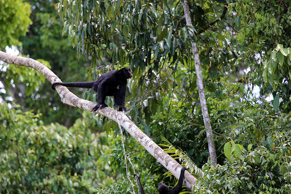 Peruvian Spider Monkey - displaying its long prehensile tail, which grows up to about 34 in. (86 cm) long.