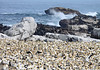 Colony of Cape gannets and Cape Fur Seals at Bird Island Nature Reserve