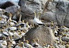 Cape Gannets at Bird Island Nature Reserve