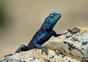 Southern Rock Agama - during the springtime breeding season - in the Cederberg Wilderness Area.
