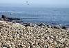 Across a breeding colony of Cape Gannets at Bird Island Nature Reserve into the Atlantic