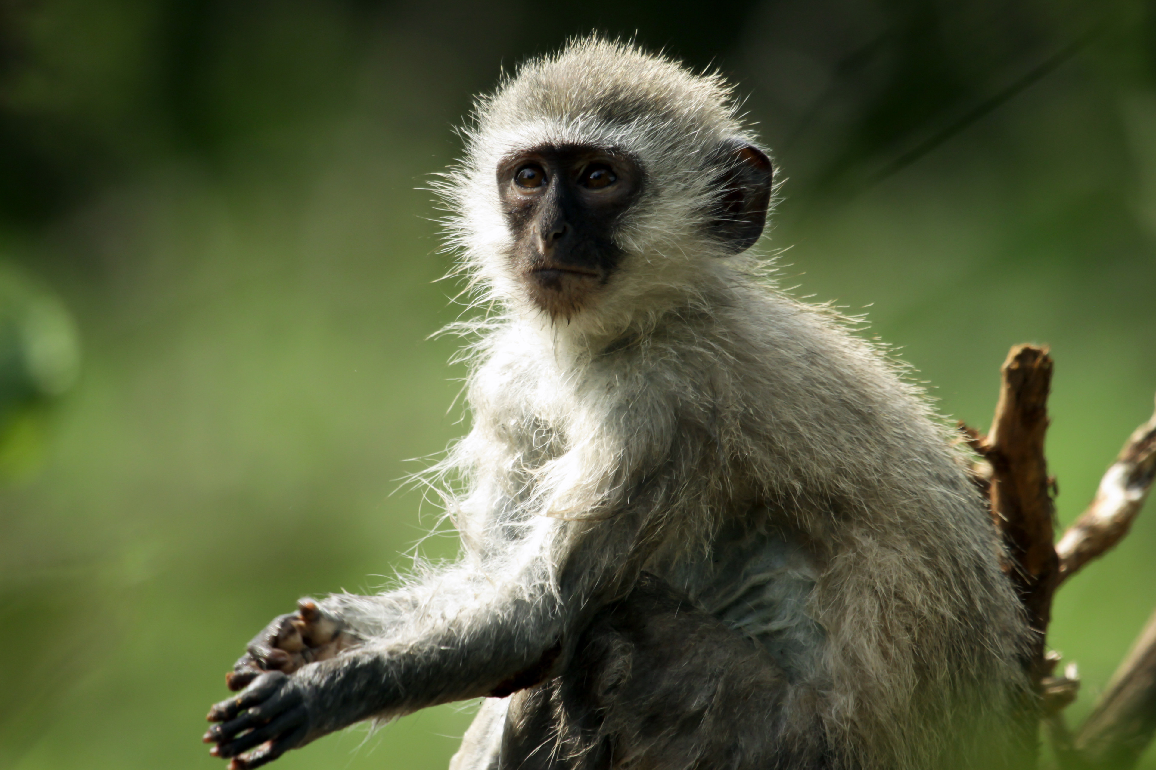 Vervet Monkey (Chlorocebus pygerythrus) - taking a bath.