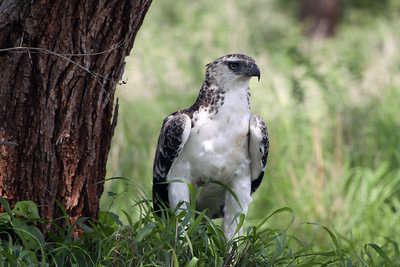 Martial Eagle (Polemaetus bellicosus) - a young juvenile.   A very large eagle, with a length of 30-38 in. (76–96 cm), weight of 6.8-14 lb. (3.1–6.2 kg) and a wingspan of 6.2-7.4 ft. (188–227 cm).  Among eagles found in Africa, only the Golden, Verreaux's and Crowned Eagles are larger than the Martial Eagle.
