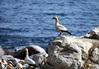 Cape Gannet (Morus capensis) - displaying its dirty plumage from building its ground nest in the dirt - here at Bird Island Nature Reserve - Lambert's Bay