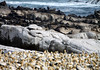 Cape Fur Seals (Arctocephalus pussilus) - also called the Brown Fur Seal.  Males grow to about 7 ft. (2.1 m) long and weigh around 700 lb. (318 kg), females are smaller.  These seals are 1 of 9 fur seal species found on Earth.  Cape Gannets in the foreground. Located at Lamberts Bay - Western Cape Province.