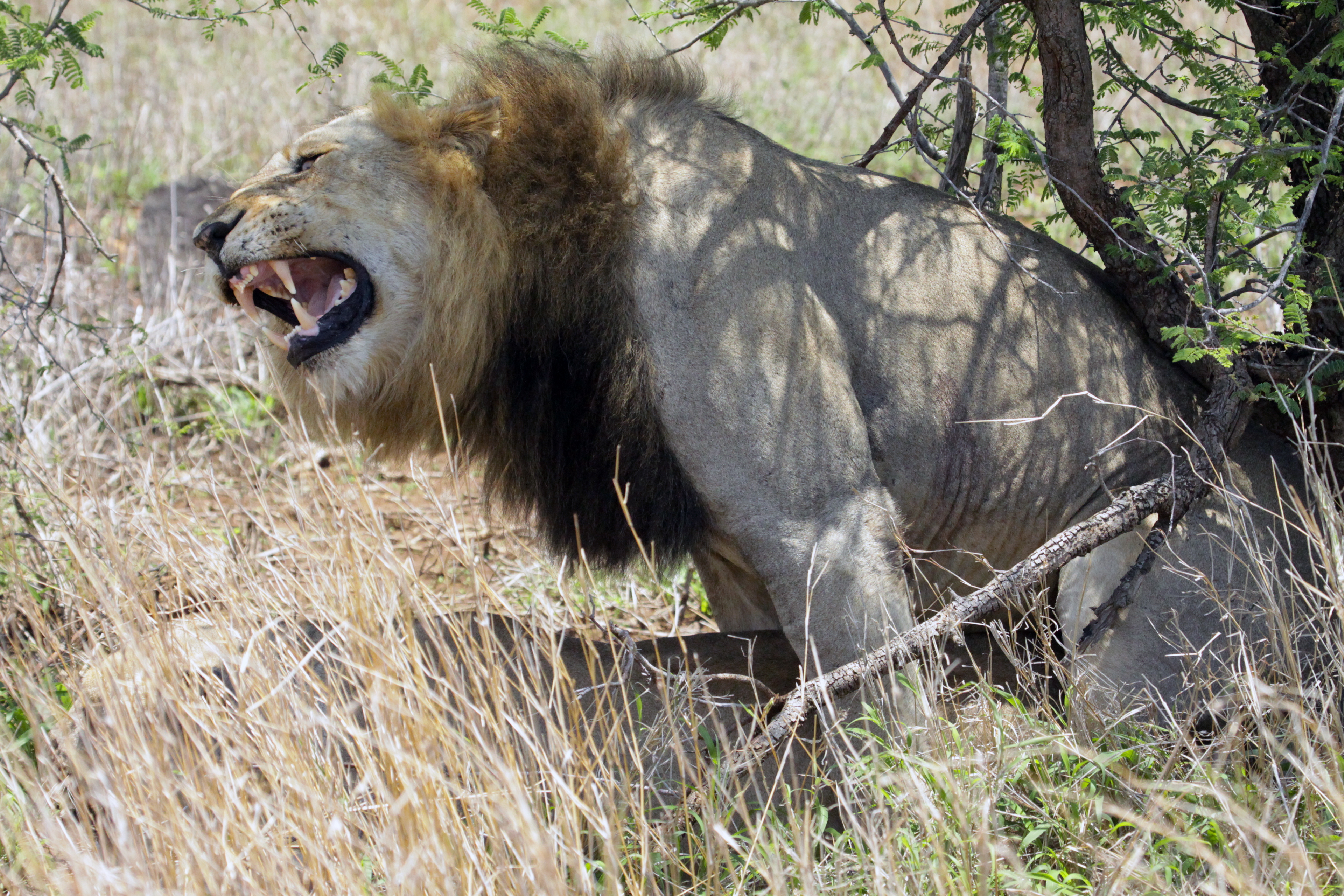 Southeast African Lion - positioned behind a female lion in heat - the mating begins with growling, pawing and even biting - when the female is finally in the mood, she lies down, and the male mounts her as seen here - actual copulation takes 6-10 seconds