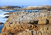Bird Island Nature Reserve - Swift Terns - Hartlaub's Gulls - Cape Cormorants - located at Lambert's Bay - Western Cape province.