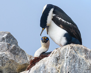 Blue-eyed Shags squabbling in their nest