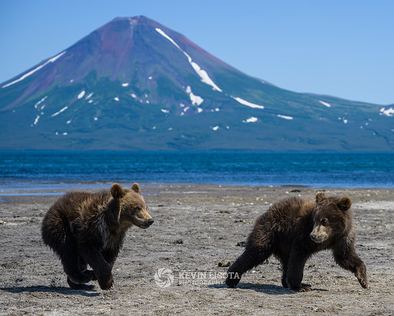 Brown bear cubs in front of Ilyinsky volcano at Kurile Lake in Kamchatka, Russia