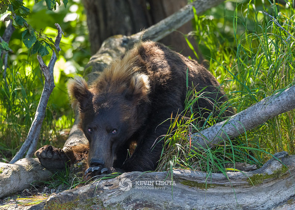 Brown bear cub in the woods.