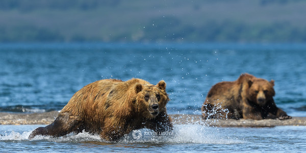 Brown bear fishing in Kurile Lake in Kamchatka, Russia.