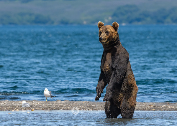 Brown bear at Kurile Lake in Kamchatka