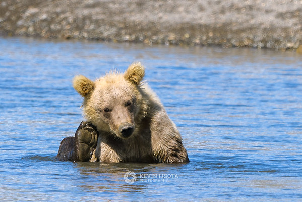 Brown bear cub scratches an itch and cools off in a river