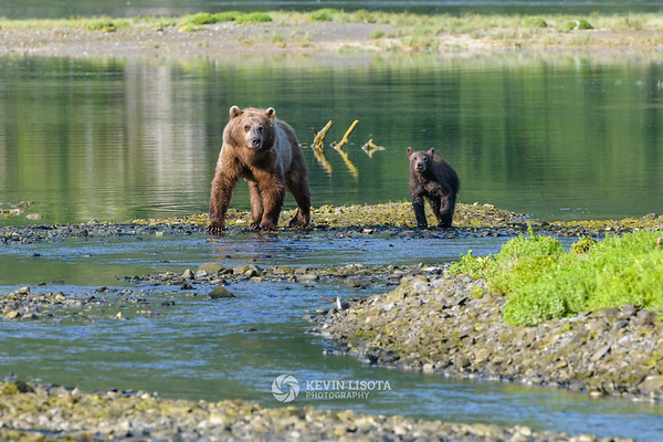 Brown bear sow and sub in Katmai National Park's Geographic Harbor