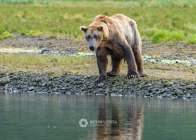 Brown bear boar watches for fish