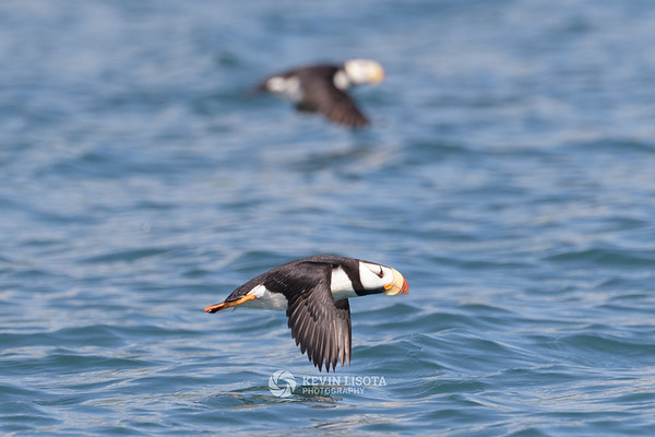 Horned puffins in flight