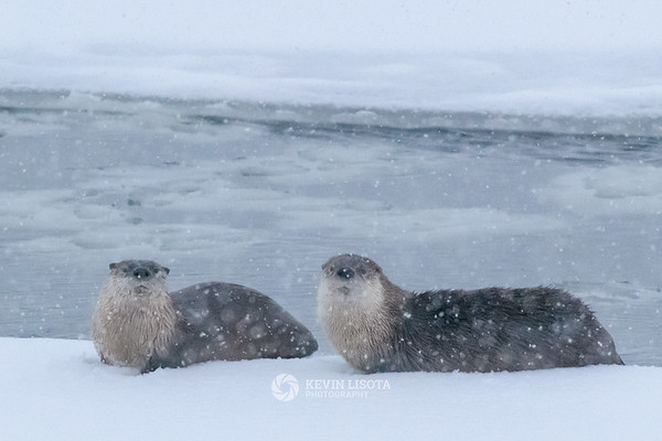 River otters along the banks of the Lamar River during snow fall