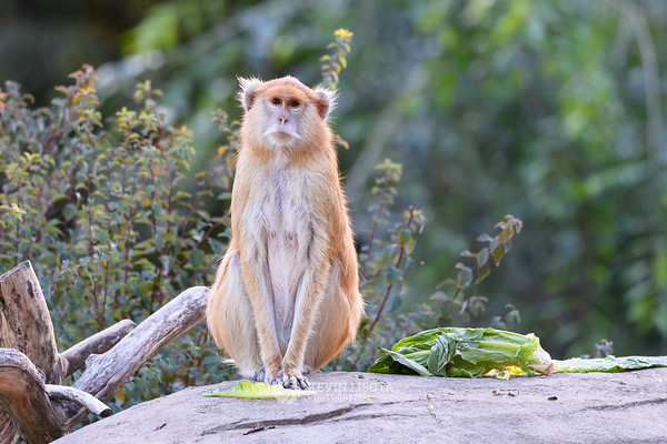 Patas Monkey - Woodland Park Zoo