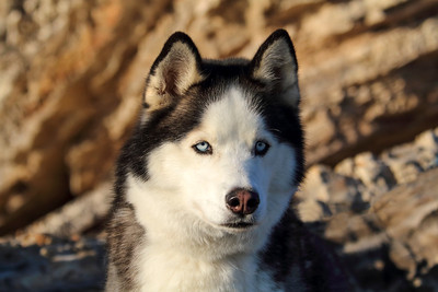 Beautiful Huskey