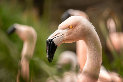 Flamingo Stare Down