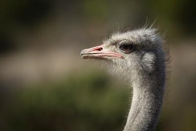 Ostrich Closeup