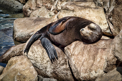 Restful Sea Lion
