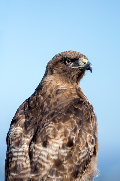 Hawk Portrait