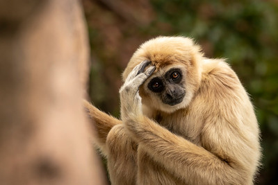 Jasmine The White-Handed Gibbon