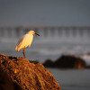 Egret on a Rock