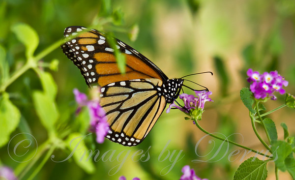monarch butterfly0910-1