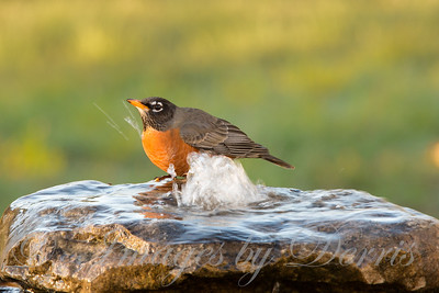 Robin on fountain
