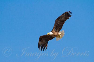 Bald Eagle 6