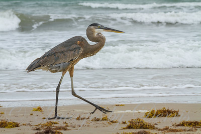 Blue Heron at Port Aransas