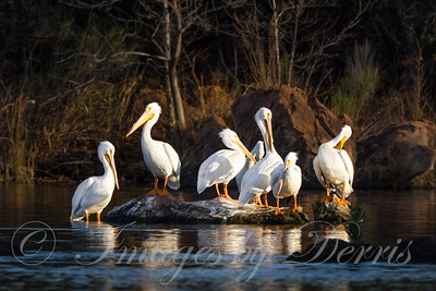 White Pelicans 1