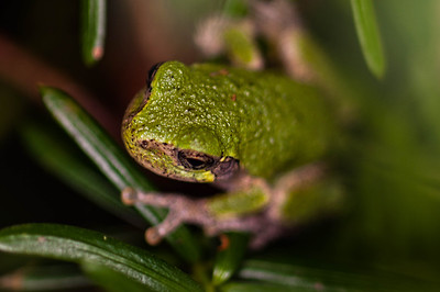 Tree Frog Visitor