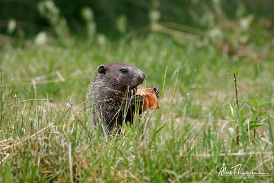 Groundhog with Sweet Potato