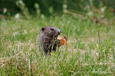 Groundhog with Sweet Potato