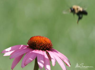 Bumblebee Landing on Coneflower