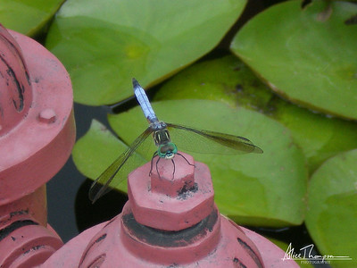 Dragonfly and Lilypads