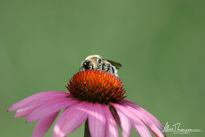 Pollen Covered Bumblebee on Coneflower
