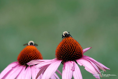 Bumblebees and Coneflowers