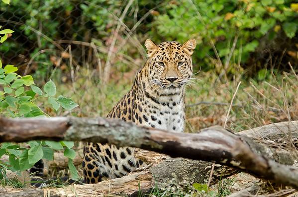 Amur Leopard