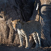 Leopard on an early morning hunt
