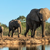 Elephants on parade: quiet and confident, protective and familial