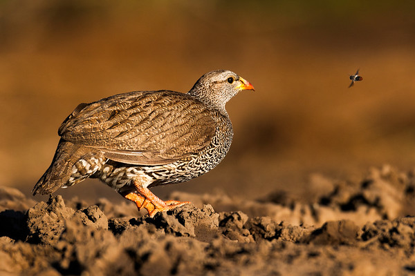 Natal Spurfowl and potential snack