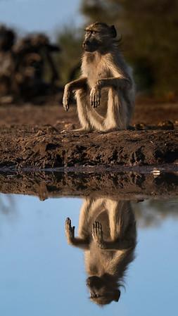 Baboon at peace