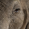 Confident and strong: an elephant's eye