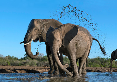 Elephants taking an early morning bath