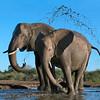 Elephants taking an early morning bath