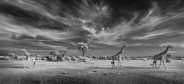 Giraffes on the Maasai Mara